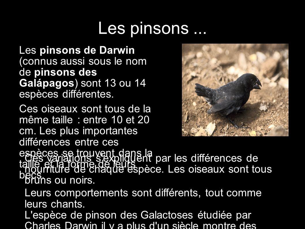 Les pinsons... Les pinsons de Darwin (connus aussi sous le nom de pinsons des Galápagos) sont 13 ou 14 espèces différentes. Ces oiseaux sont tous de l
