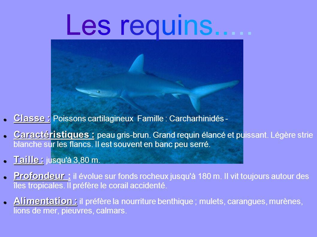 Classe : Classe : Poissons cartilagineux Famille : Carcharhinidés - Caractéristiques : Caractéristiques : peau gris-brun. Grand requin élancé et puiss