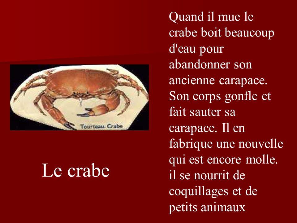 Le crabe Quand il mue le crabe boit beaucoup d eau pour abandonner son ancienne carapace.