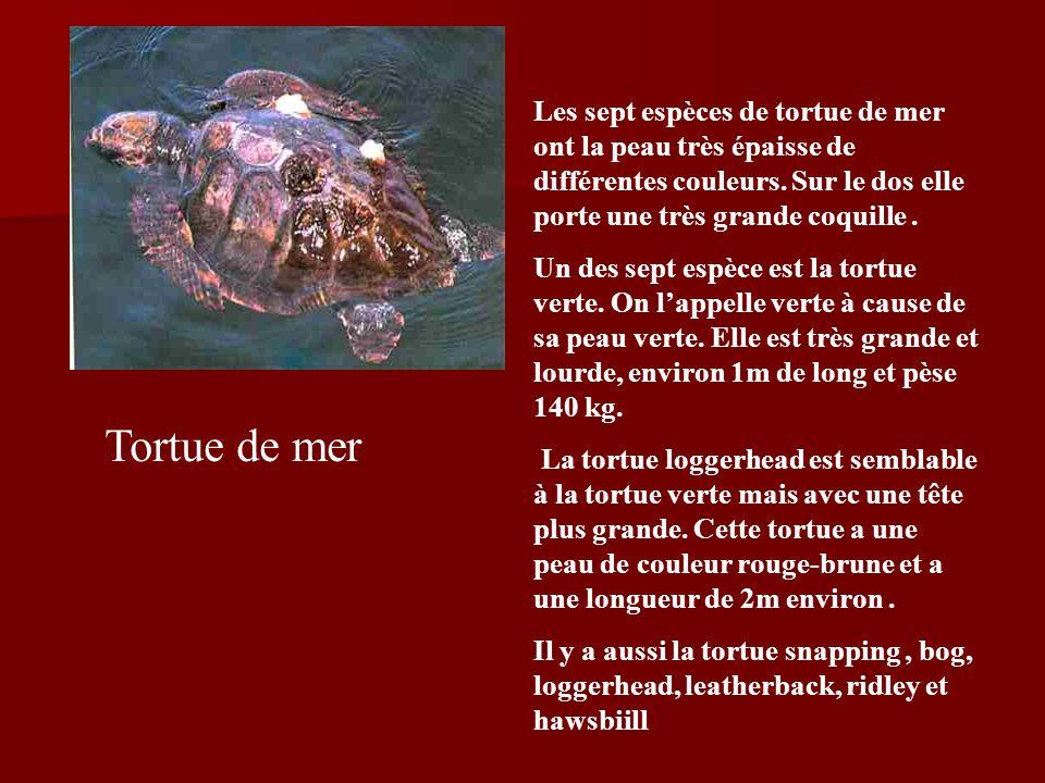 Tortue de mer Les sept espèces de tortue de mer ont la peau très épaisse de différentes couleurs.