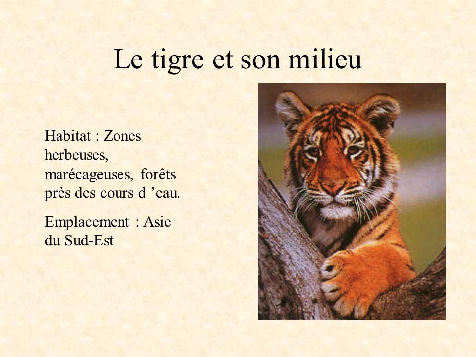 Le tigre et son milieu Habitat : Zones herbeuses, marécageuses, forêts près des cours d eau.