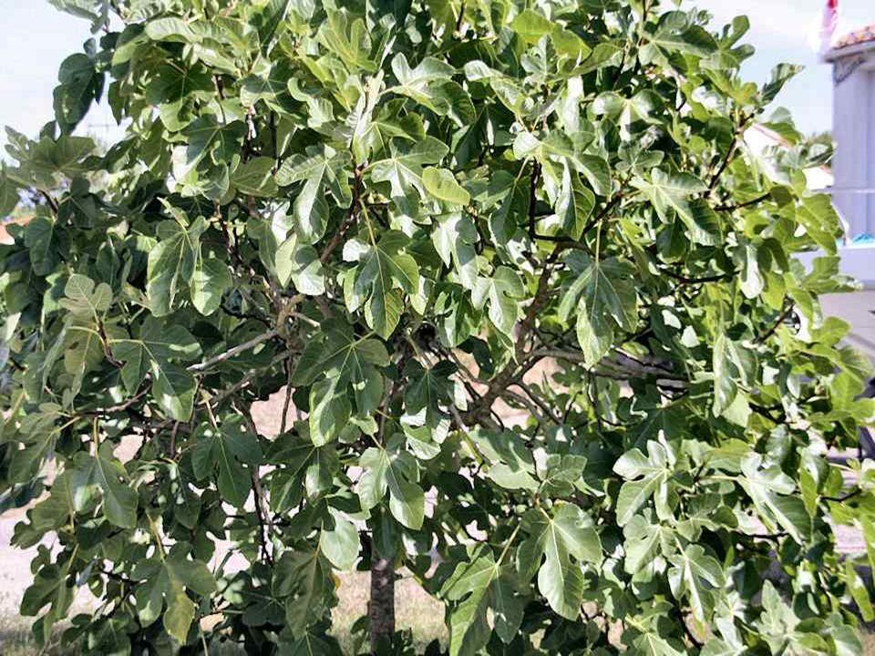Le figuier : le savoir partagé. Cest avec ses larges feuilles quAdam et Eve protégèrent leur nudité. Selon la Bible, il représente larbre de la Connai