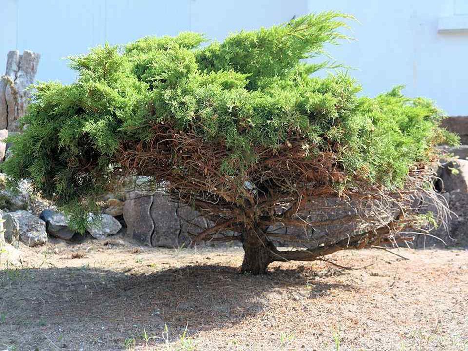Le pin : la spiritualité enracinée. Peu exigeant, ce conifère pousse même sur des sols pauvres et résiste à la sécheresse tout comme aux vents violent