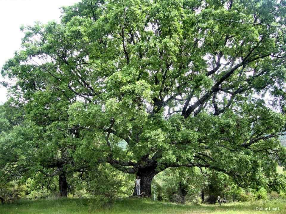 Le Chêne : la force tranquille Robuste, avec une feuillage dense, un tronc puissant, souvent isolé au milieu dun champ, résistant aux intempéries, ce