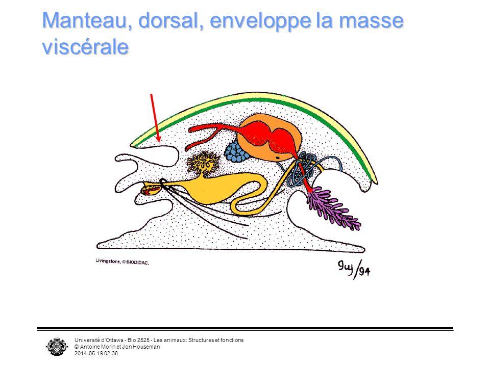 Université dOttawa - Bio 2525 - Les animaux: Structures et fonctions © Antoine Morin et Jon Houseman 2014-05-19 02:39 Manteau, dorsal, enveloppe la ma