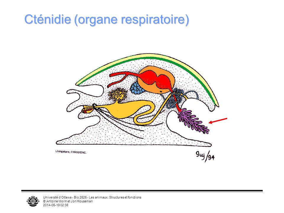 Université dOttawa - Bio 2525 - Les animaux: Structures et fonctions © Antoine Morin et Jon Houseman 2014-05-19 02:39 Cténidie (organe respiratoire)