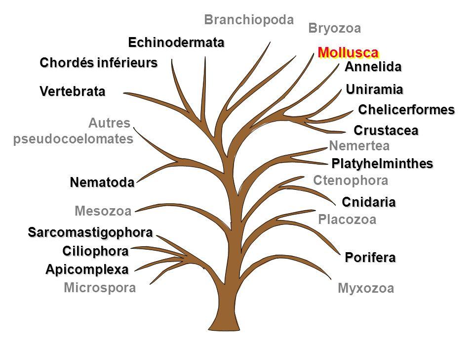 Myxozoa Uniramia Chelicerformes Crustacea Annelida Mollusca Branchiopoda Chordés inférieurs Vertebrata Autres pseudocoelomates Nematoda Porifera Cteno