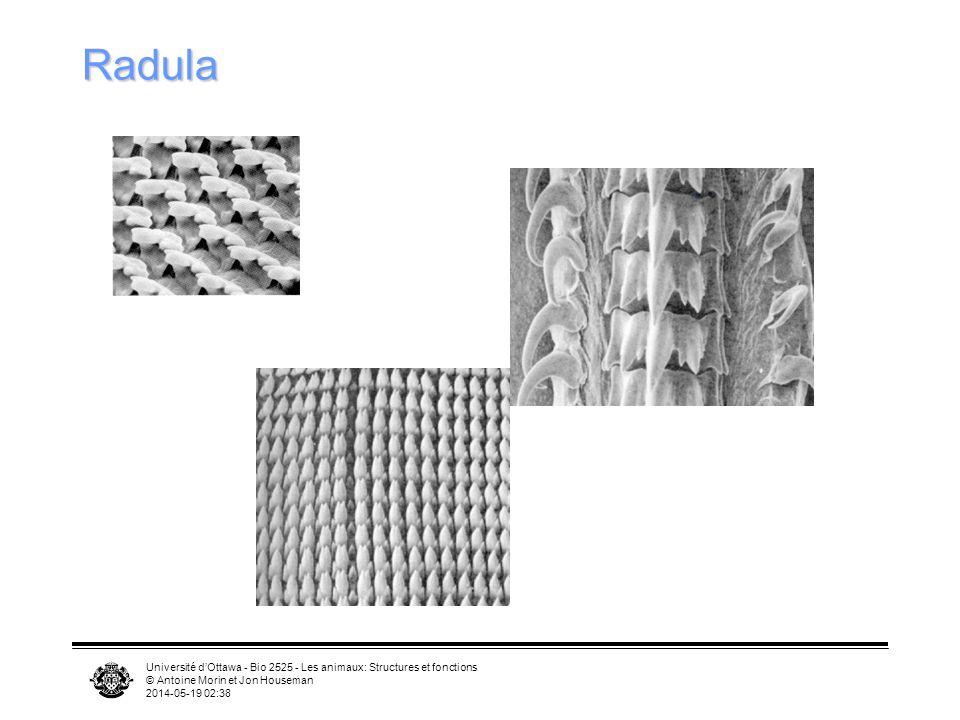 Université dOttawa - Bio 2525 - Les animaux: Structures et fonctions © Antoine Morin et Jon Houseman 2014-05-19 02:39 Radula