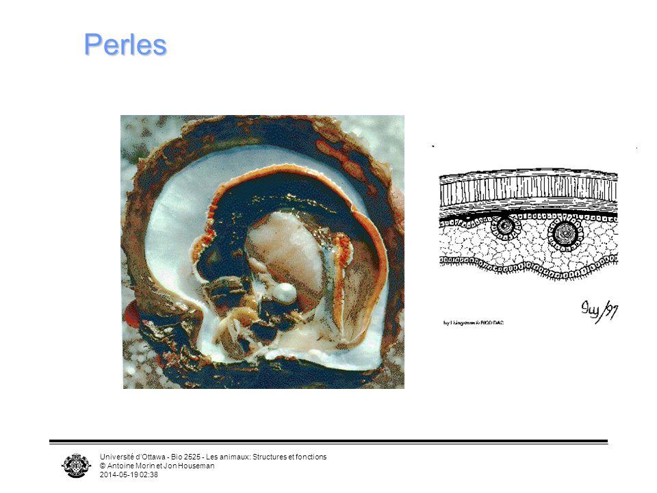 Université dOttawa - Bio 2525 - Les animaux: Structures et fonctions © Antoine Morin et Jon Houseman 2014-05-19 02:39 Perles