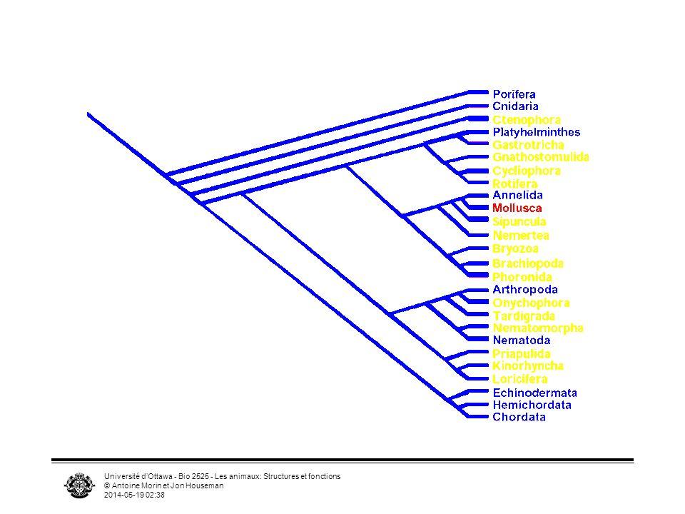 Université dOttawa - Bio 2525 - Les animaux: Structures et fonctions © Antoine Morin et Jon Houseman 2014-05-19 02:39