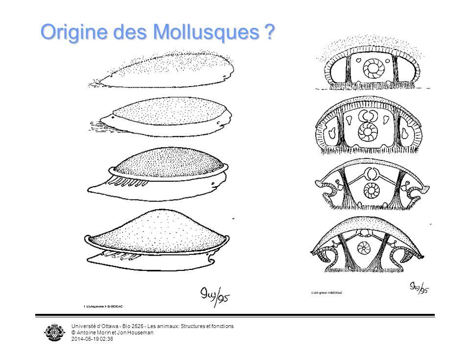Université dOttawa - Bio 2525 - Les animaux: Structures et fonctions © Antoine Morin et Jon Houseman 2014-05-19 02:39 Origine des Mollusques ?
