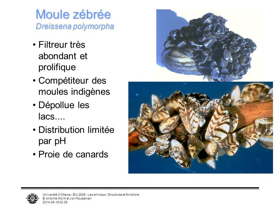 Université dOttawa - Bio 2525 - Les animaux: Structures et fonctions © Antoine Morin et Jon Houseman 2014-05-19 02:39 Filtreur très abondant et prolif