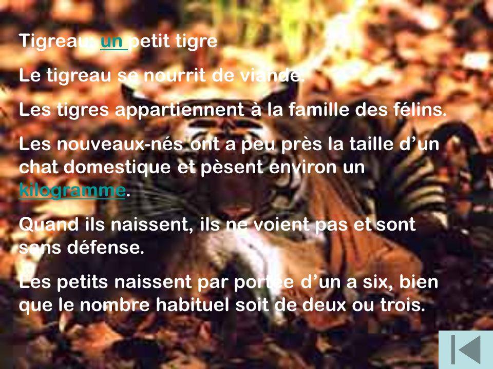 Tigreau: un petit tigreun Le tigreau se nourrit de viande. Les tigres appartiennent à la famille des félins. Les nouveaux-nés ont a peu près la taille