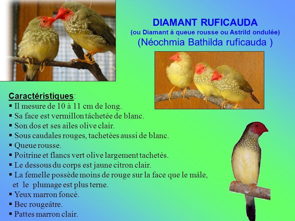 Caractéristiques: Il mesure de 10 à 11 cm de long. Sa face est vermillon tâchetée de blanc. Son dos et ses ailes olive clair. Sous caudales rouges, ta