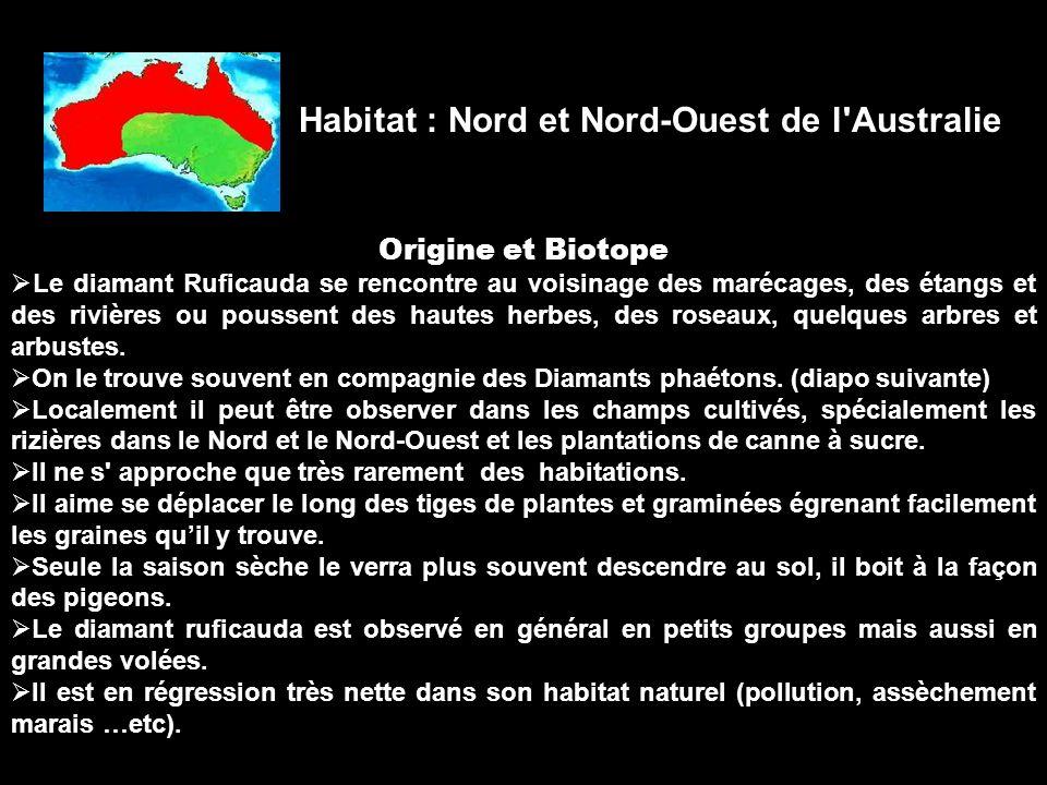 Origine et Biotope Le diamant Ruficauda se rencontre au voisinage des marécages, des étangs et des rivières ou poussent des hautes herbes, des roseaux