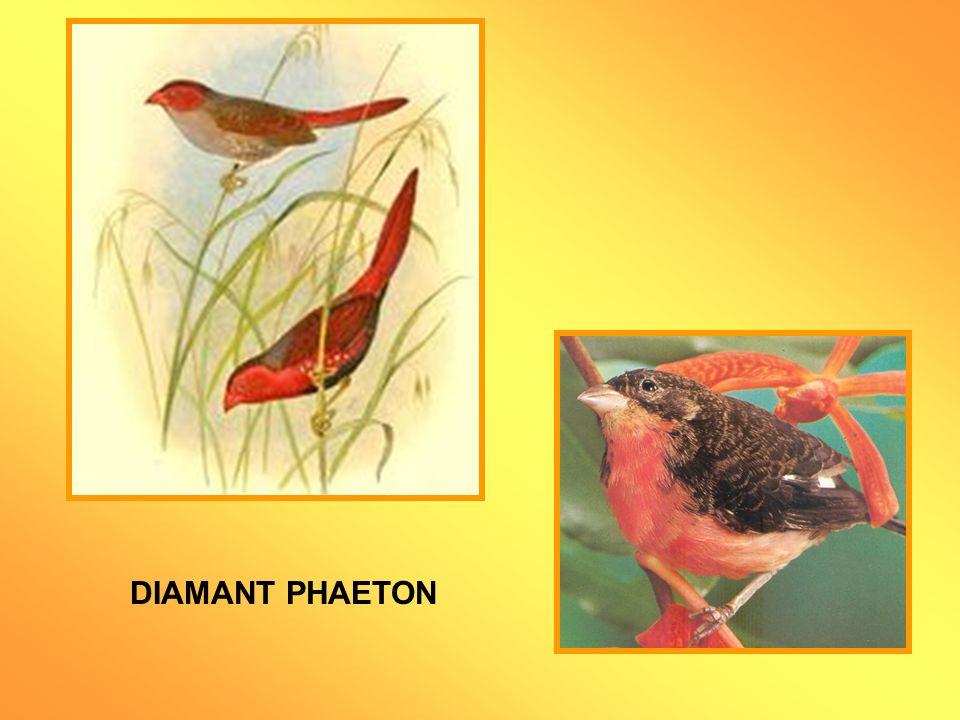 Neochmia (Bathilda) ruficauda Ordre des Passériformes, famille des Estrildidés Cest un oiseau paisible, plutôt timide et silencieux, qui convient parfaitement à une volière peuplée d autres espèces de petits Diamants.