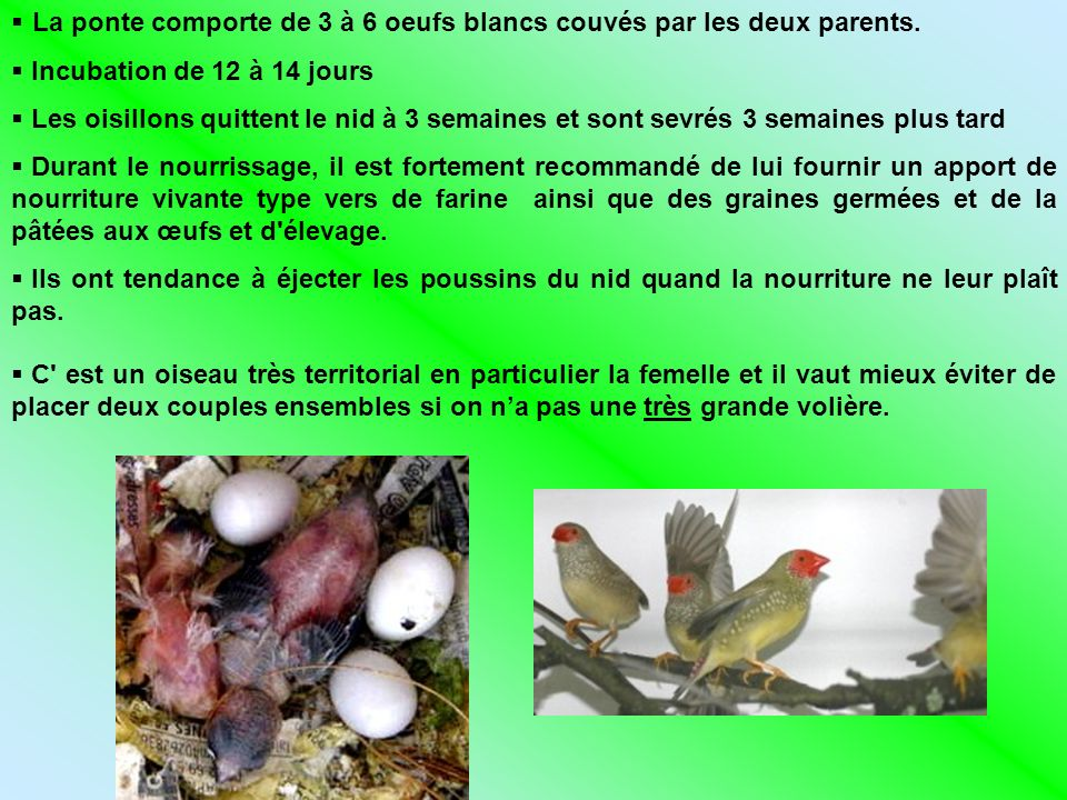 La ponte comporte de 3 à 6 oeufs blancs couvés par les deux parents. Incubation de 12 à 14 jours Les oisillons quittent le nid à 3 semaines et sont se