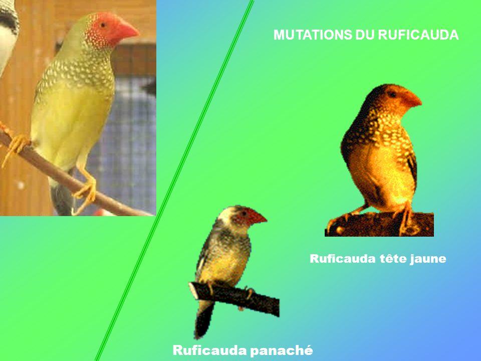 MUTATIONS DU RUFICAUDA Ruficauda panaché Ruficauda tête jaune