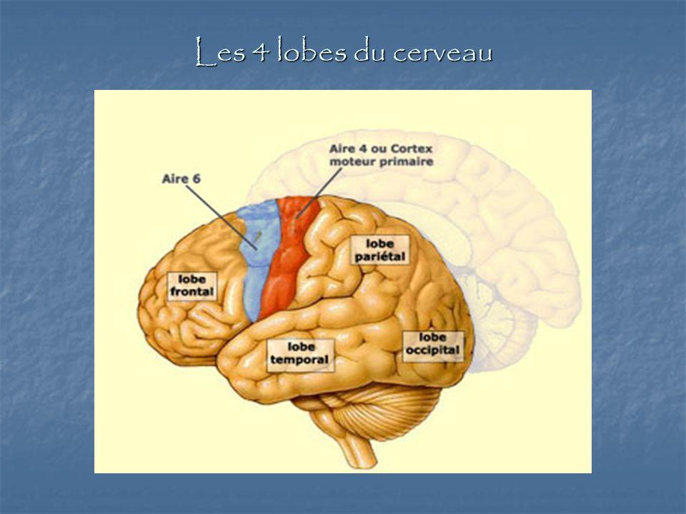 Les 4 lobes du cerveau