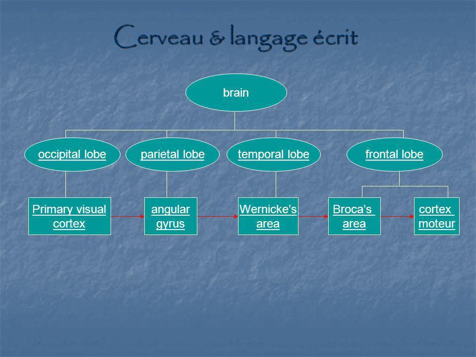 Cerveau & langage écrit brain occipital lobeparietal lobetemporal lobefrontal lobe Primary visual cortex moteur Brocas area angular gyrus Wernickes ar
