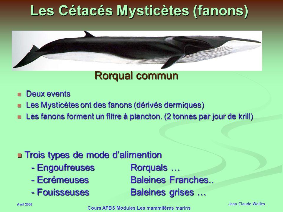 Avril 2006 Cours AFBS Modules Les mammifères marins Le Cachalot ( Physeter macrocephalus) Avril 2005 Jean Claude Wollès Tête trois fois le volume dun