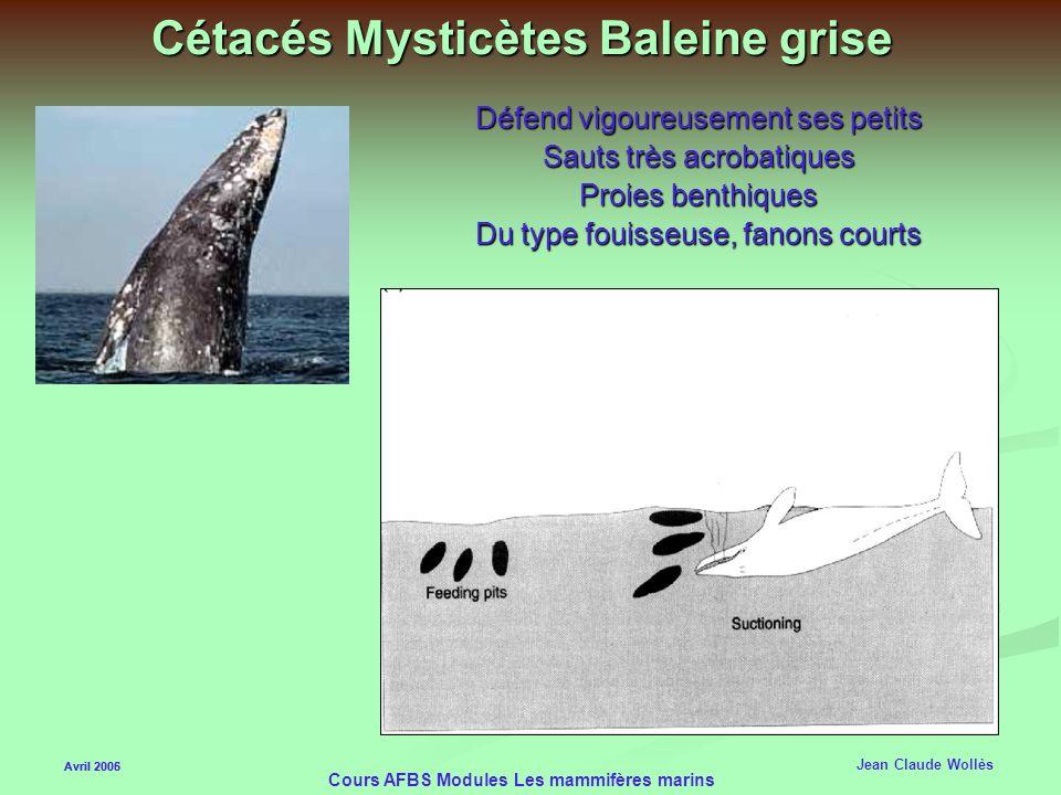 Avril 2006 Cours AFBS Modules Les mammifères marins Cétacés Mysticètes Baleine Franche Reste en surface Elle est du type écrémeuse avec des très longs