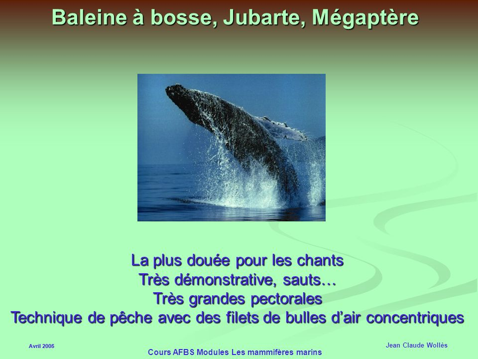 Avril 2006 Cours AFBS Modules Les mammifères marins Cétacés Mysticètes Baleine grise Défend vigoureusement ses petits Sauts très acrobatiques Proies b
