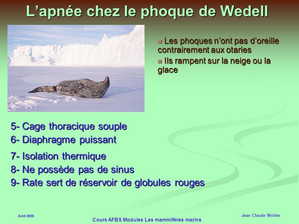 Avril 2006 Cours AFBS Modules Les mammifères marins Lapnée chez les mammifères marins Avril 2005 Jean Claude Wollès 1h dapnée pour léléphant de mer 1h