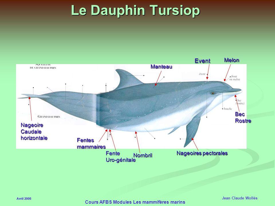 Avril 2006 Cours AFBS Modules Les mammifères marins Les Cétacés Odontocètes (dents) Les Odontocètes ont des dents et un seul évent Les voies digestive