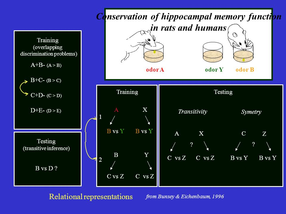 odor Bodor Yodor A Conservation of hippocampal memory function in rats and humans Training AXAX B vs Y 1 B Y C vs ZC vs Z 2 A+B- (A > B) B+C- (B > C)