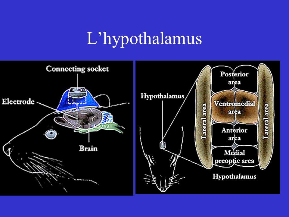 Lhypothalamus