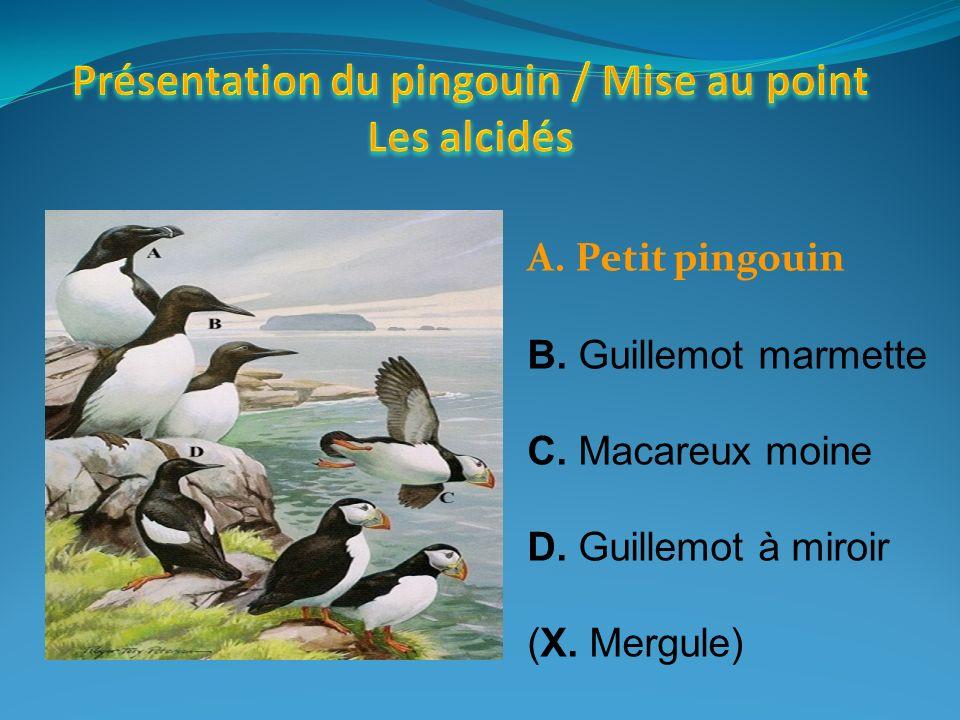 A. Petit pingouin B. Guillemot marmette C. Macareux moine D. Guillemot à miroir (X. Mergule)