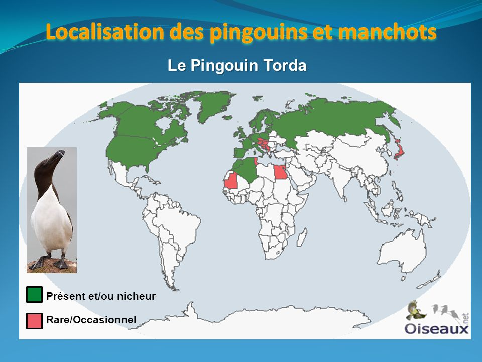 Présent et/ou nicheur Rare/Occasionnel Le Pingouin Torda