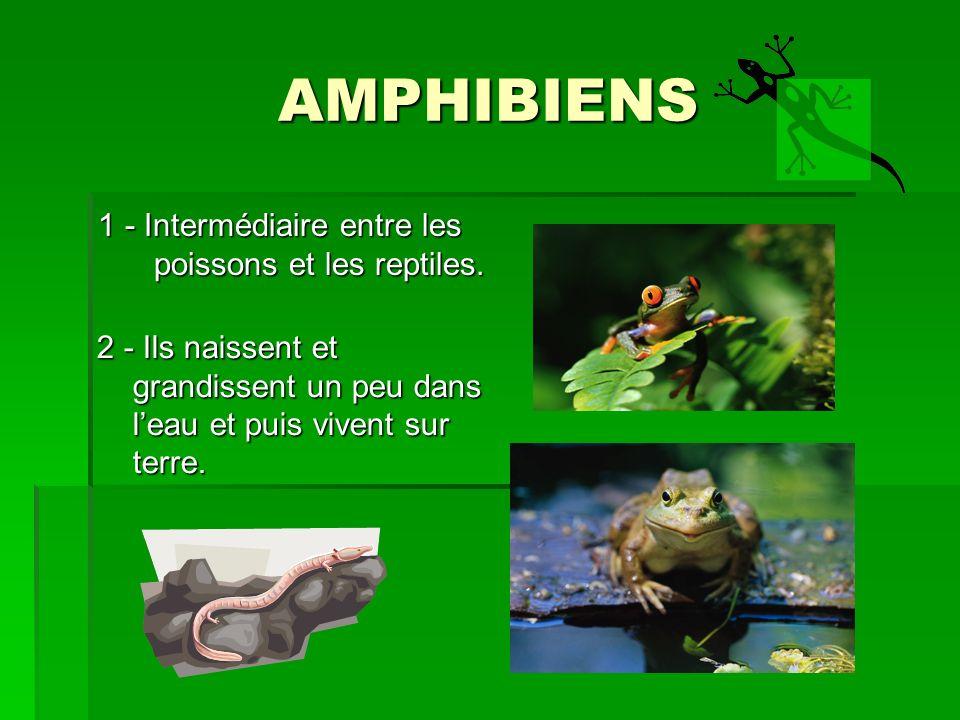 AMPHIBIENS 1 - Intermédiaire entre les poissons et les reptiles.