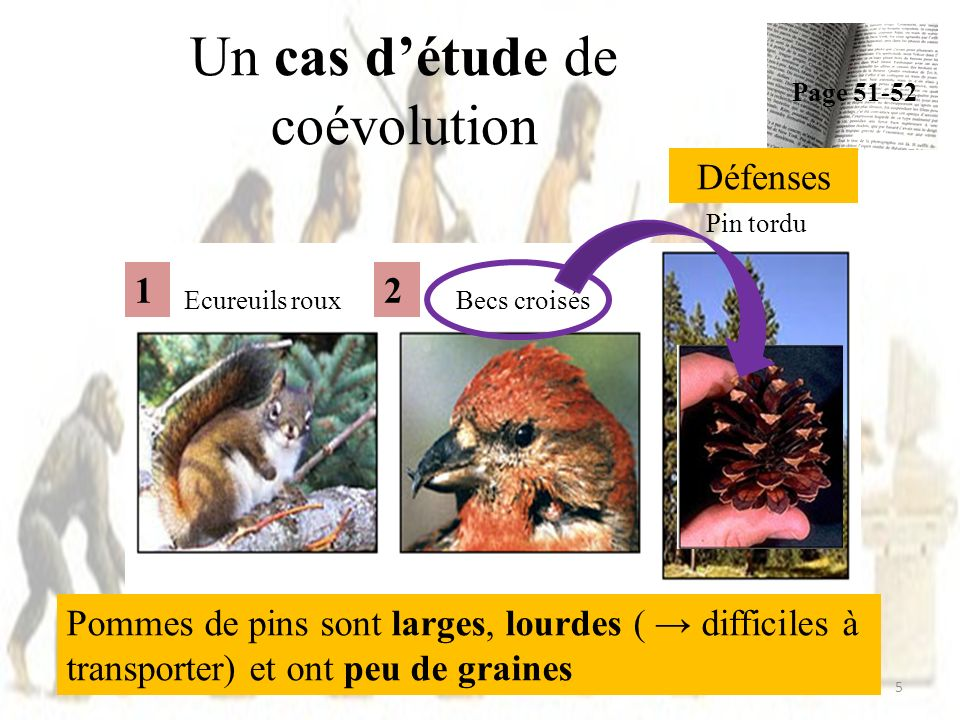 Un cas détude de coévolution Page 51-52 5 Ecureuils rouxBecs croisés Pin tordu Défenses Pommes de pins sont larges, lourdes ( difficiles à transporter