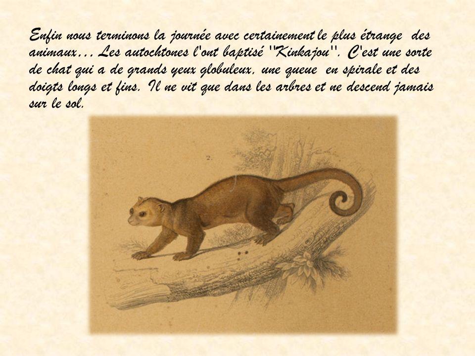 Enfin nous terminons la journée avec certainement le plus étrange des animaux… Les autochtones l ont baptisé Kinkajou .