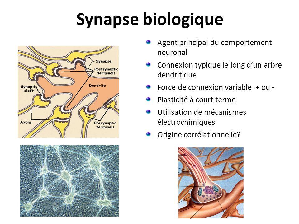 Synapse biologique Agent principal du comportement neuronal Connexion typique le long dun arbre dendritique Force de connexion variable + ou - Plasticité à court terme Utilisation de mécanismes électrochimiques Origine corrélationnelle?