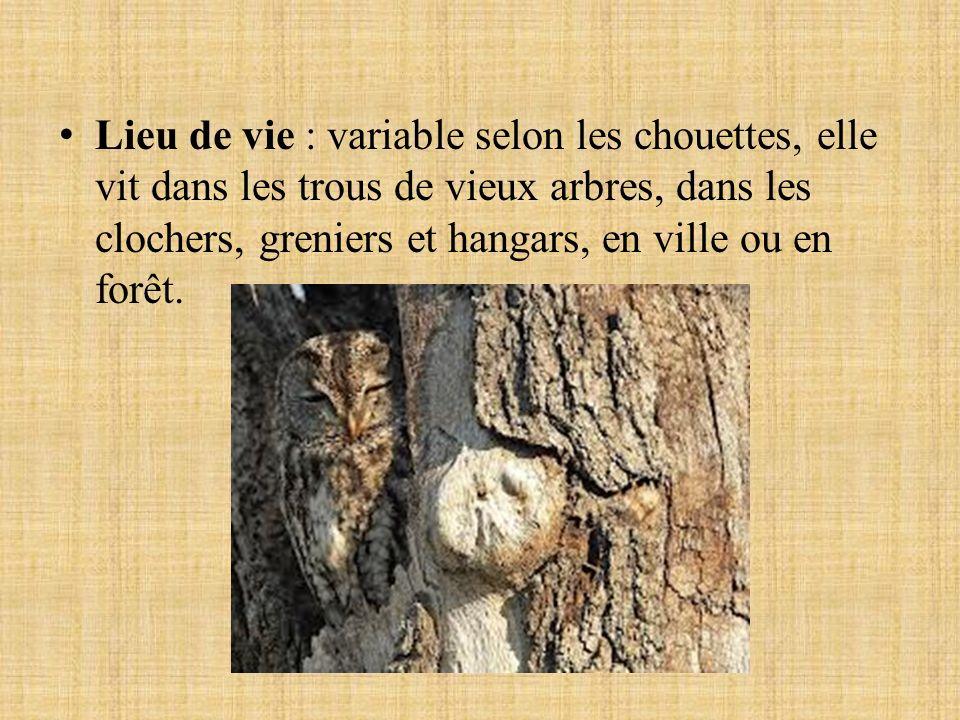 Lieu de vie : variable selon les chouettes, elle vit dans les trous de vieux arbres, dans les clochers, greniers et hangars, en ville ou en forêt.