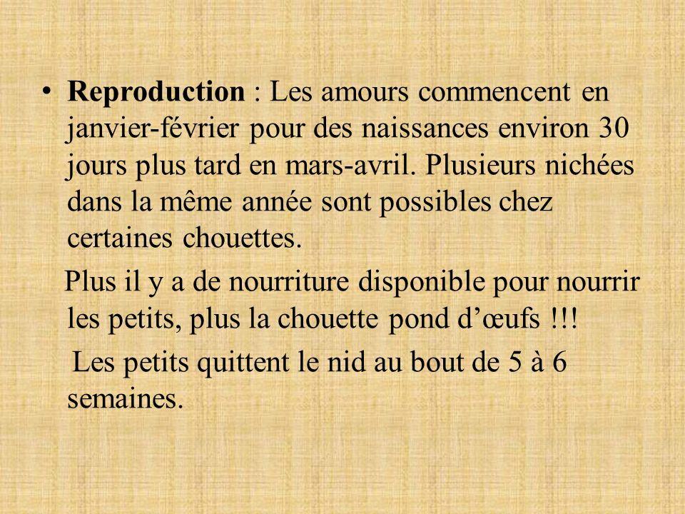 Reproduction : Les amours commencent en janvier-février pour des naissances environ 30 jours plus tard en mars-avril.
