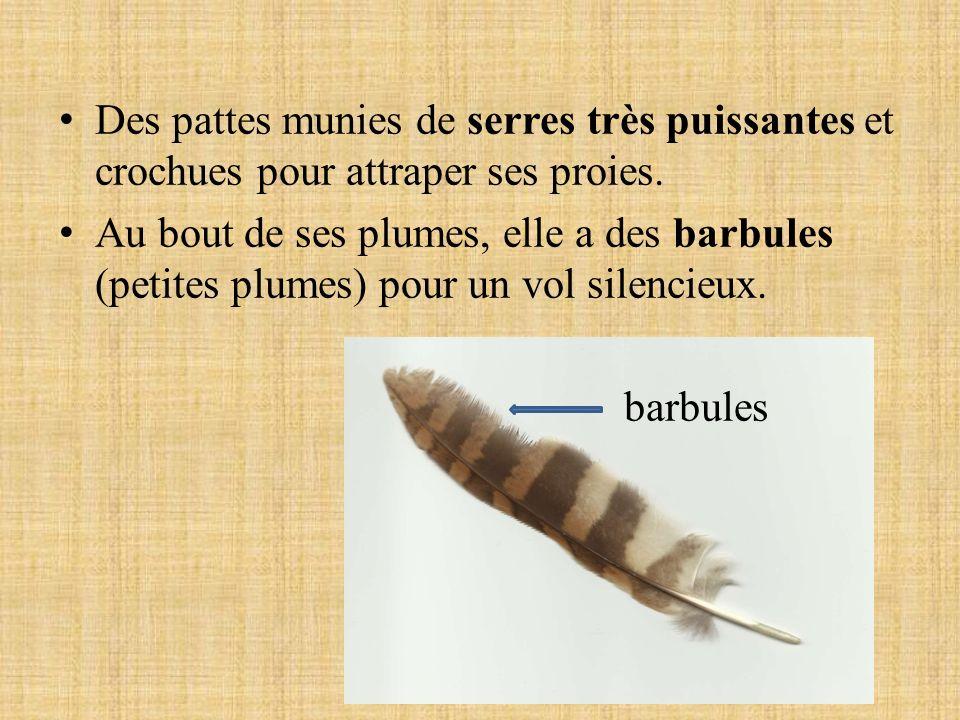 Des pattes munies de serres très puissantes et crochues pour attraper ses proies. Au bout de ses plumes, elle a des barbules (petites plumes) pour un