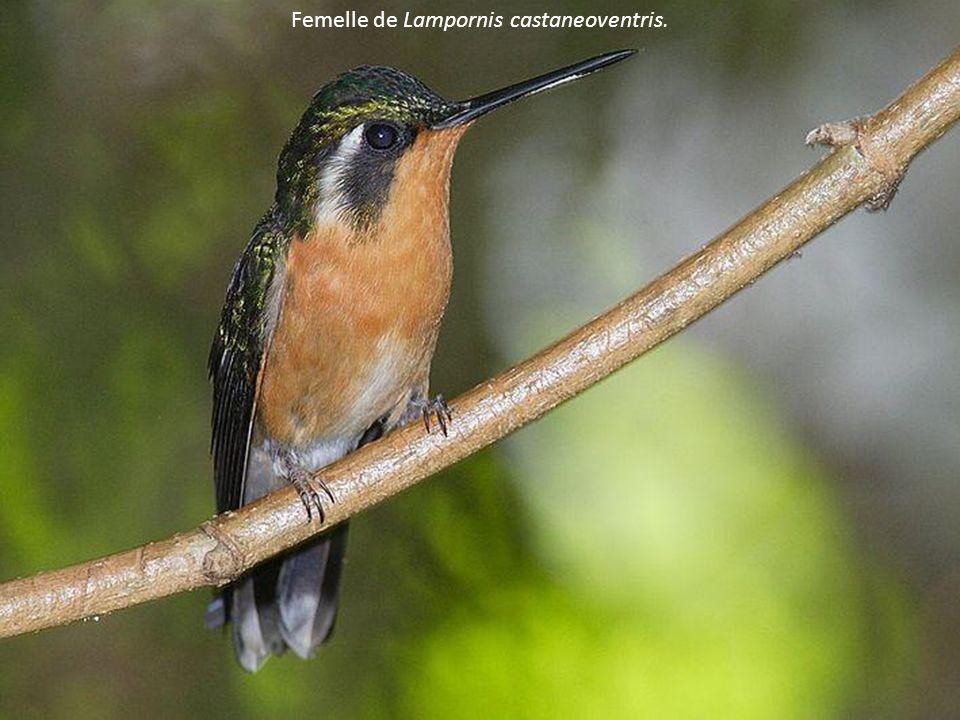 Femelle de Lampornis castaneoventris.