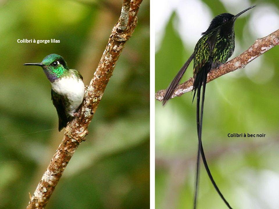 Colibri à gorge lilas Colibri à bec noir