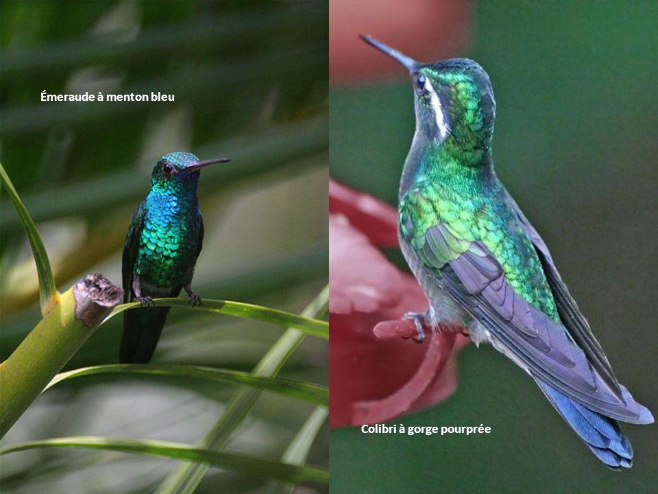 Colibri à gorge pourprée Émeraude à menton bleu
