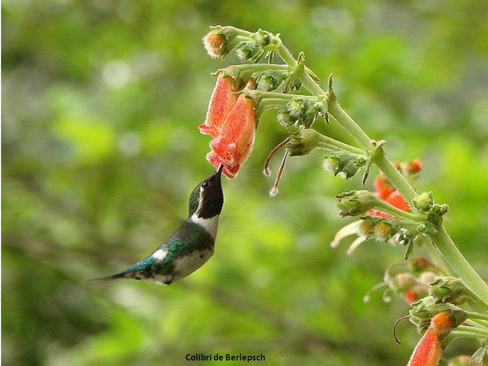 Colibri de Berlepsch