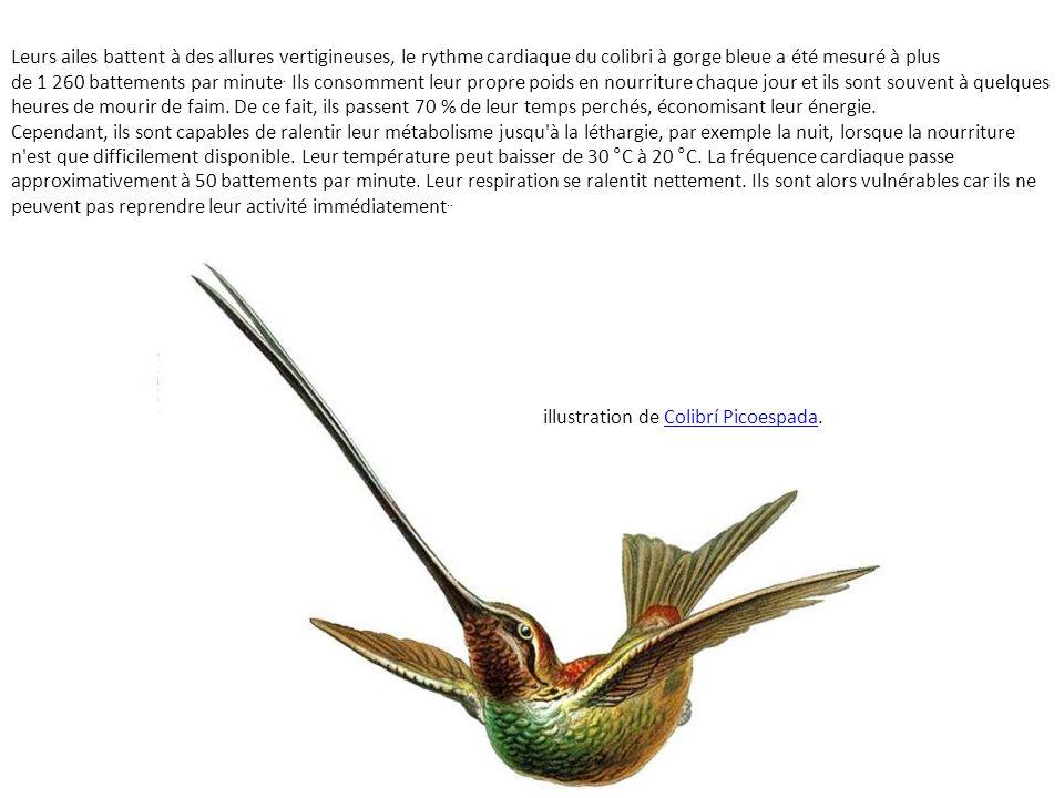 Leurs ailes battent à des allures vertigineuses, le rythme cardiaque du colibri à gorge bleue a été mesuré à plus de 1 260 battements par minute.
