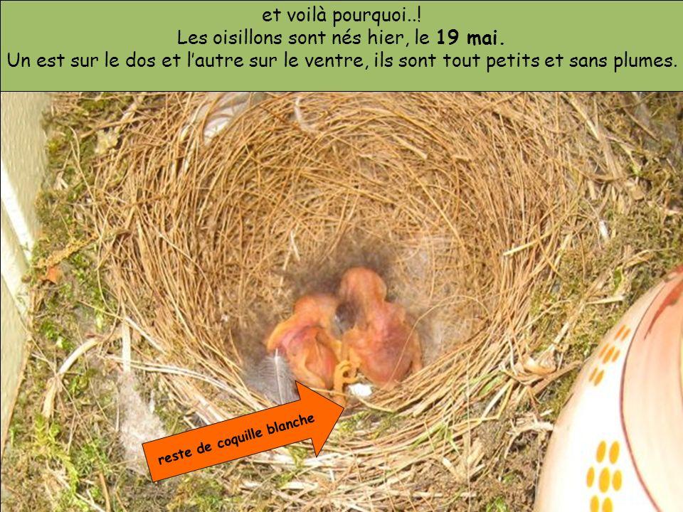 et voilà pourquoi..! Les oisillons sont nés hier, le 19 mai. Un est sur le dos et lautre sur le ventre, ils sont tout petits et sans plumes. reste de