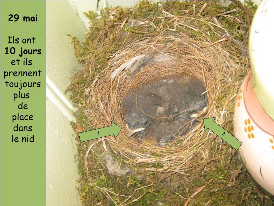 29 mai Ils ont 10 jours et ils prennent toujours plus de place dans le nid 1 2