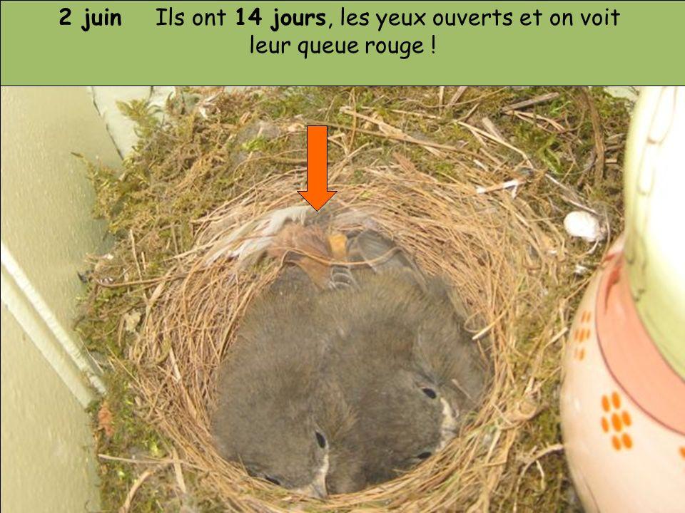 2 juin Ils ont 14 jours, les yeux ouverts et on voit leur queue rouge !