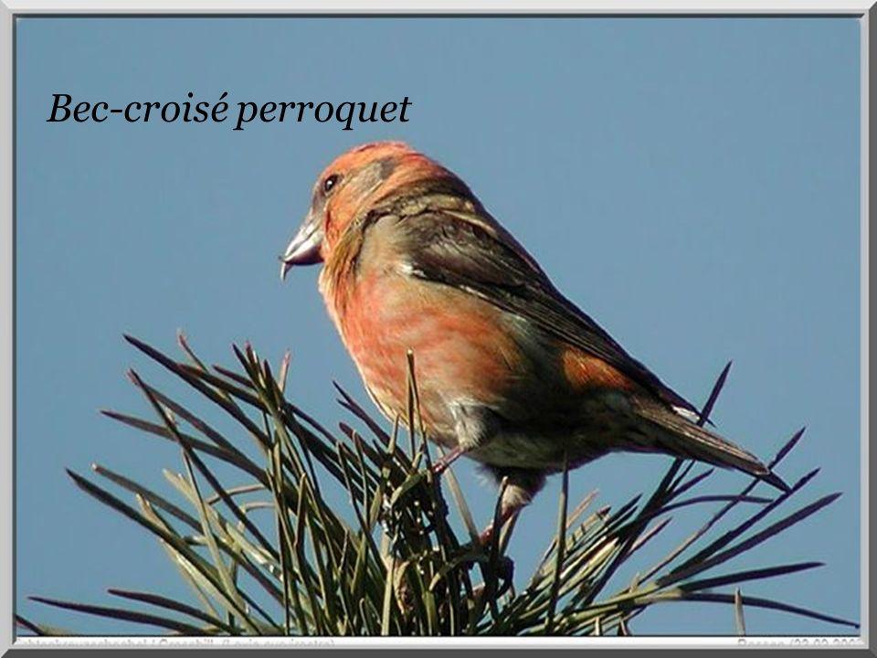 Bec-croisé. Bec-croisé perroquet