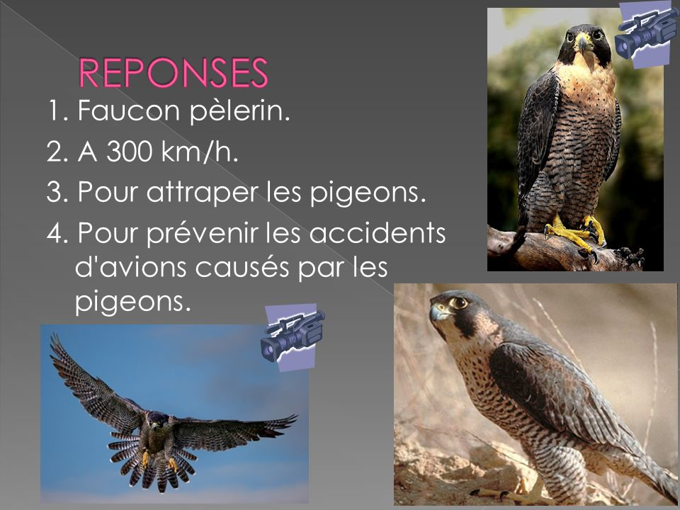 1.Faucon pèlerin. 2. A 300 km/h. 3. Pour attraper les pigeons.